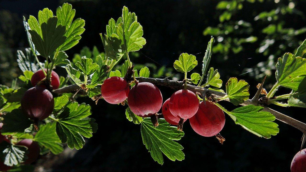 Stachelbeeren-Kirschmarmelade auf dem Frühstückstisch