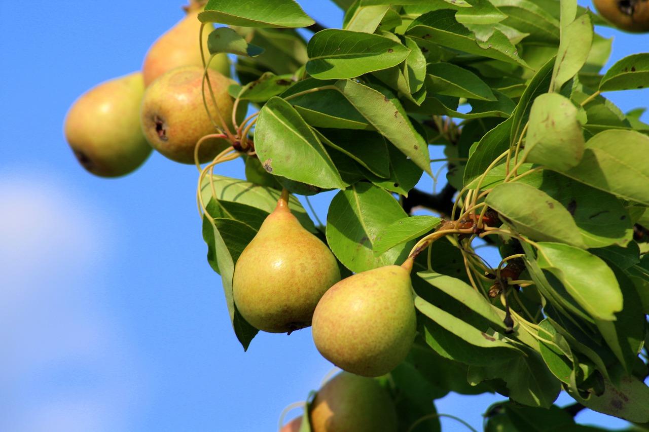 Selber Birnen einkochen