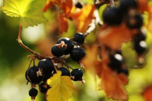 Schwarze Johannisbeere-Kirschmarmelade einkochen